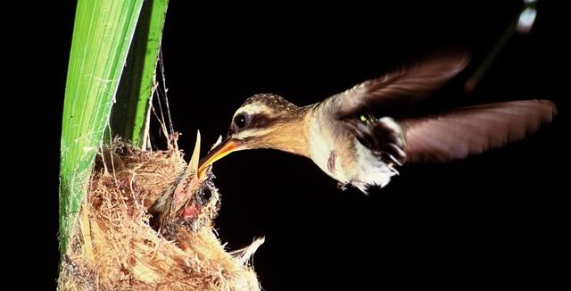 Hummingbird Feeding - MY Tucano Amazon Cruise