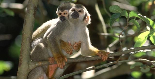 Monkeys - MY Tucano Amazon Cruise