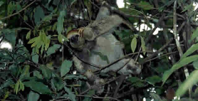 Sloth, Amazon Jungle