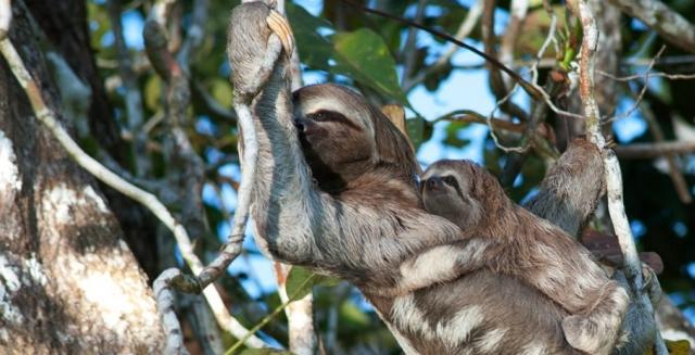 Sloths, Mamiraua Amazon Nature Reserve