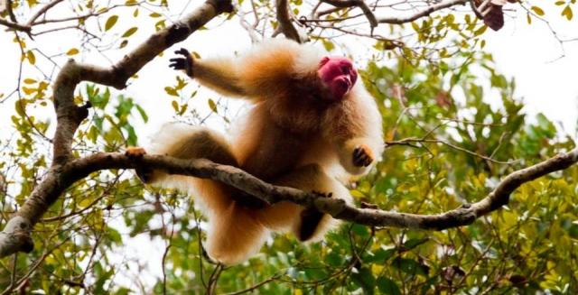 Uacari Monkey, Mamiraua Nature Reserve