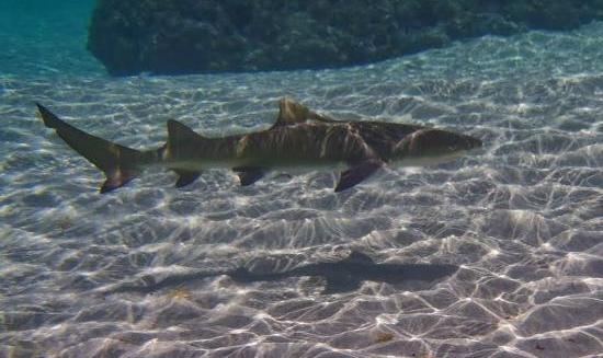 Shark, Fernando de Noronha
