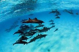 Spinner Dolphins, Fernando de Noronha