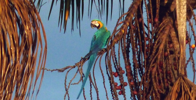 Macaw, Jalapao State Park - Tocantins