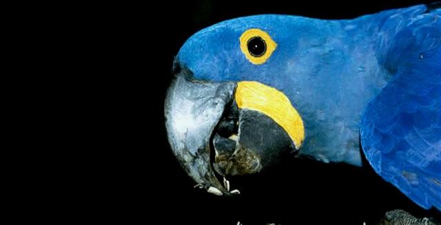 Blue Macaw - Araras Lodge, Pantanal