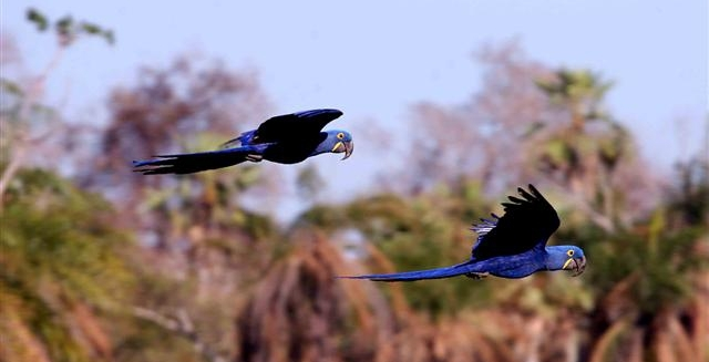 Hyacinth Macaws in the Pantanal