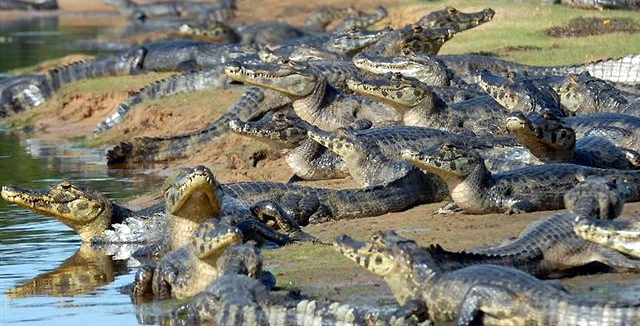 Caimans in Pantanal North