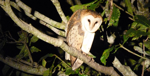 Nocturnal Wildlife - Barn Owl, Pantanal