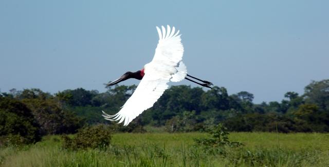 Jabiru Stoak, Pantanal