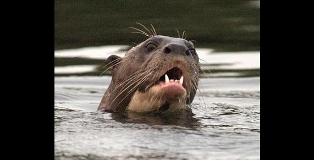Giant Otter, Pousada Mutum - Pantanal