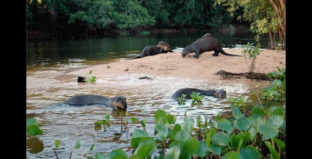 Giant Otters - Southwild Pantanal Lodge