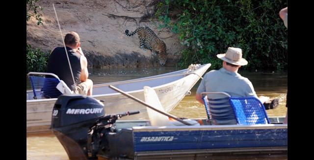 Jaguar Drinking - Southwild Pantanal Lodge