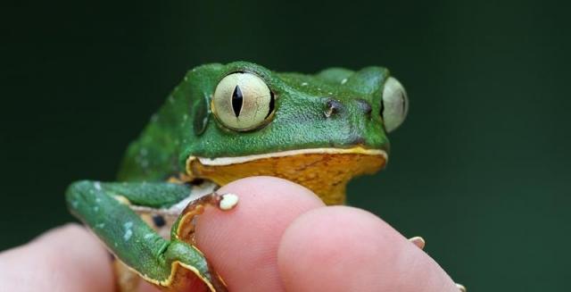 Burmeister's Leaf Frog, REGUA Atlantic Rainforest Lodge