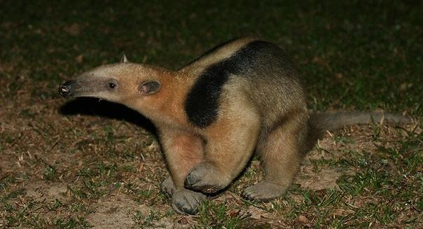Collared Anteater, REGUA Atlantic Rainforest Lodge