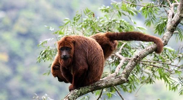 Brown Howler Monkey, REGUA Atlantic Rainforest Lodge