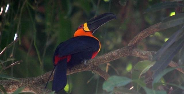 Channel-Billed Toucan, REGUA Atlantic Rainforest Lodge