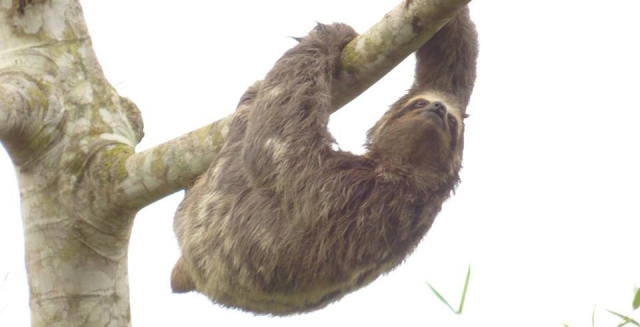 Sloth Walking in the Branches, REGUA Atlantic Rainforest Lodge